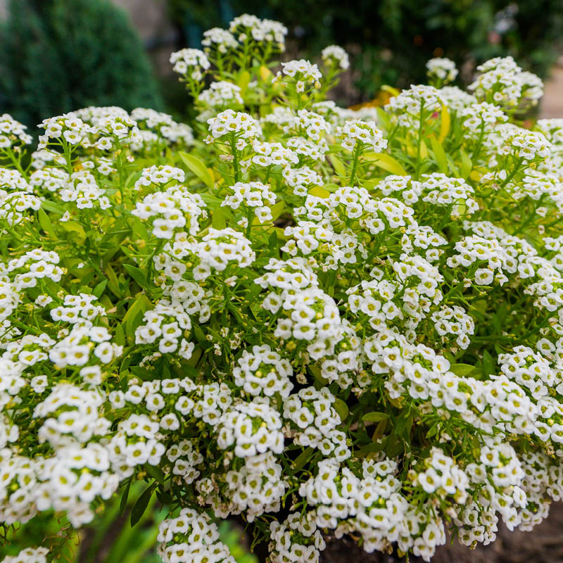 These small alyssum bushes grow close to the ground and are well suited to this sidewalk planter.