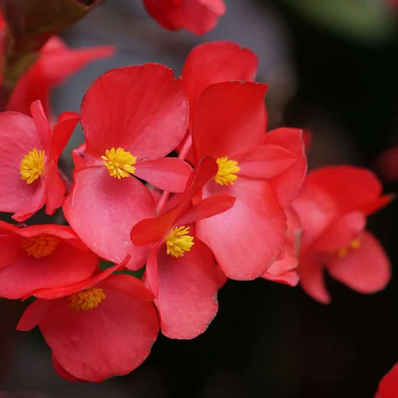 This closeup of 7 red blooms belongs to a big bronze begonia flowering plant.