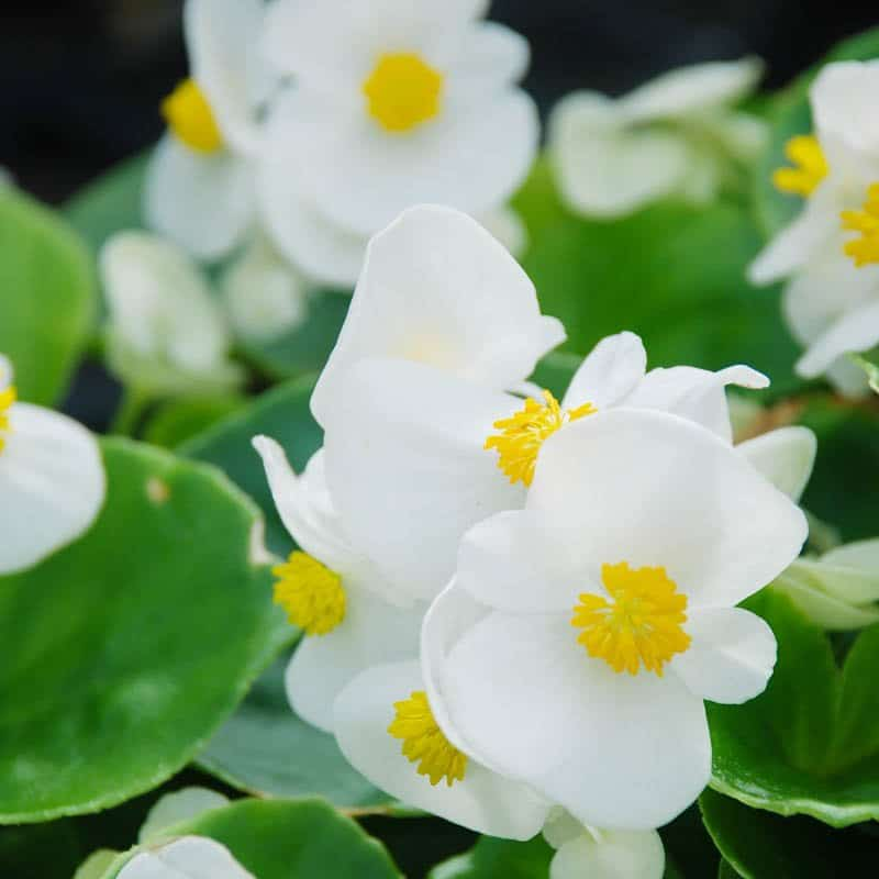 A striking landscaping choice, top hat green begonia features white blossoms with yellow centers above waxy green leaves.