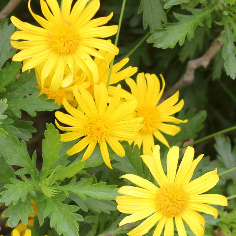 Closeup of five bright yellow bush daisies