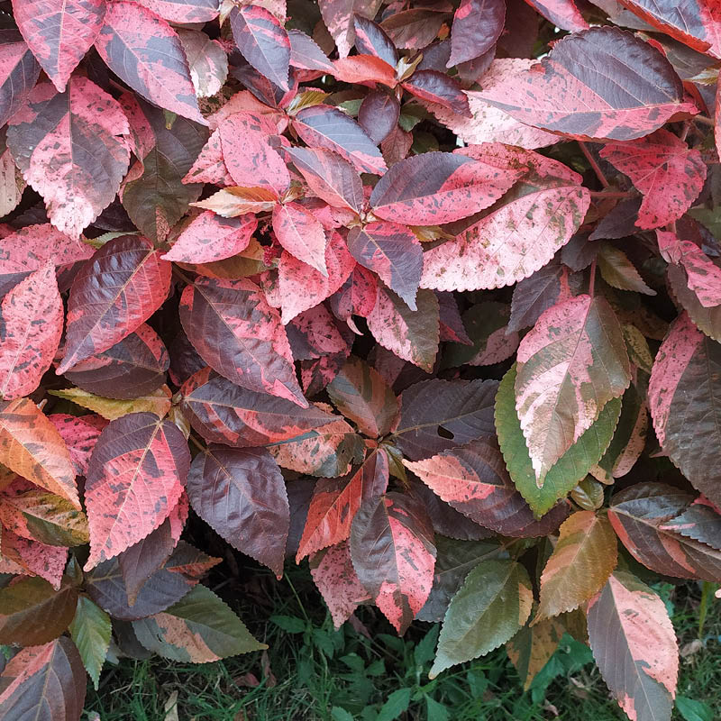 This cluster of copperleaf plants show variegated colors of red, brown and green.