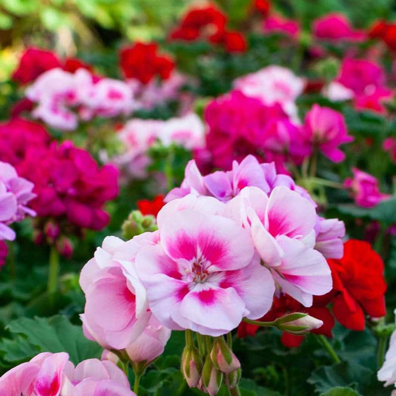 Bright cheerful geraniums fill this planter bed with red, magenta, fuschia and soft pink blooms.
