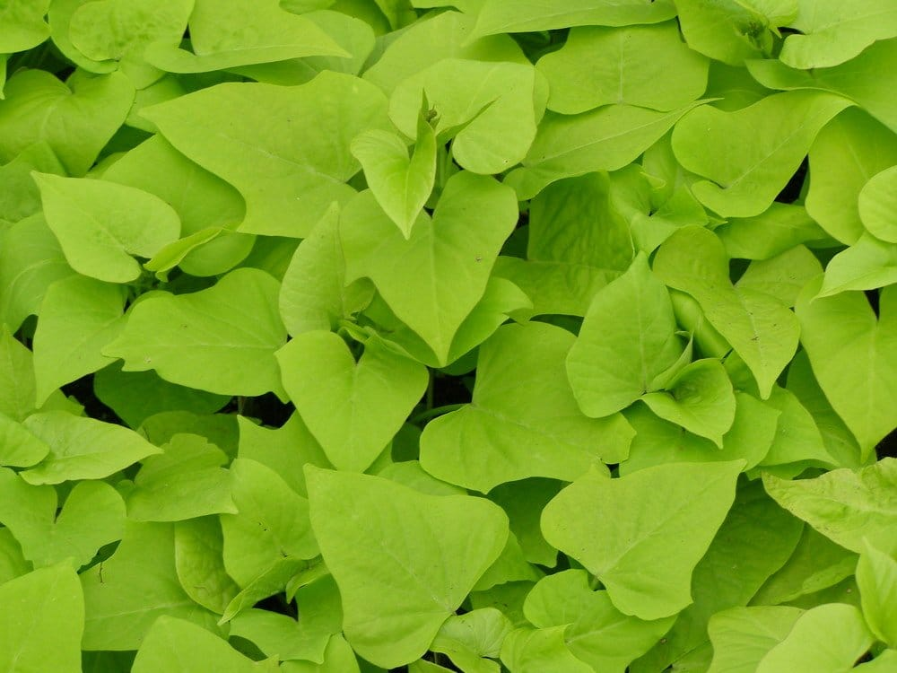 This bright green ipomoea marguerite produces small white flowers in warm tropical climates.