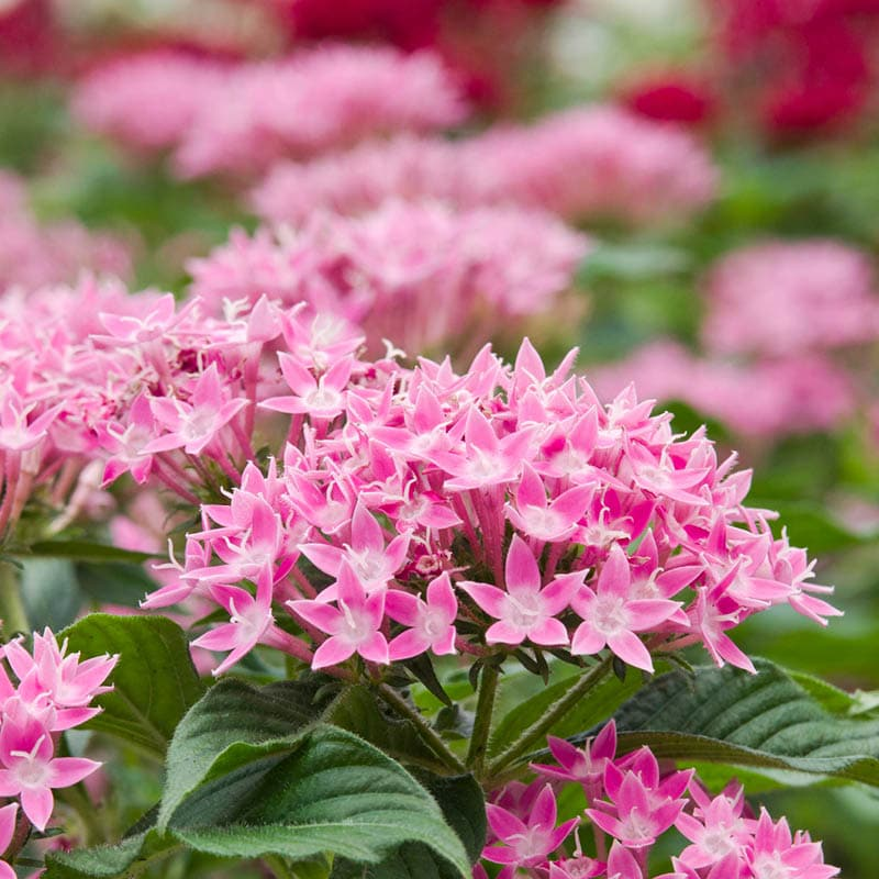 These delicate white and pink dwarf pentas grow in large clusters above fuzzy green leaves.