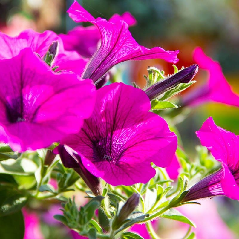 The bright sunlight hitting these saturated pink and purple petunias shows the delicacy of each petal.