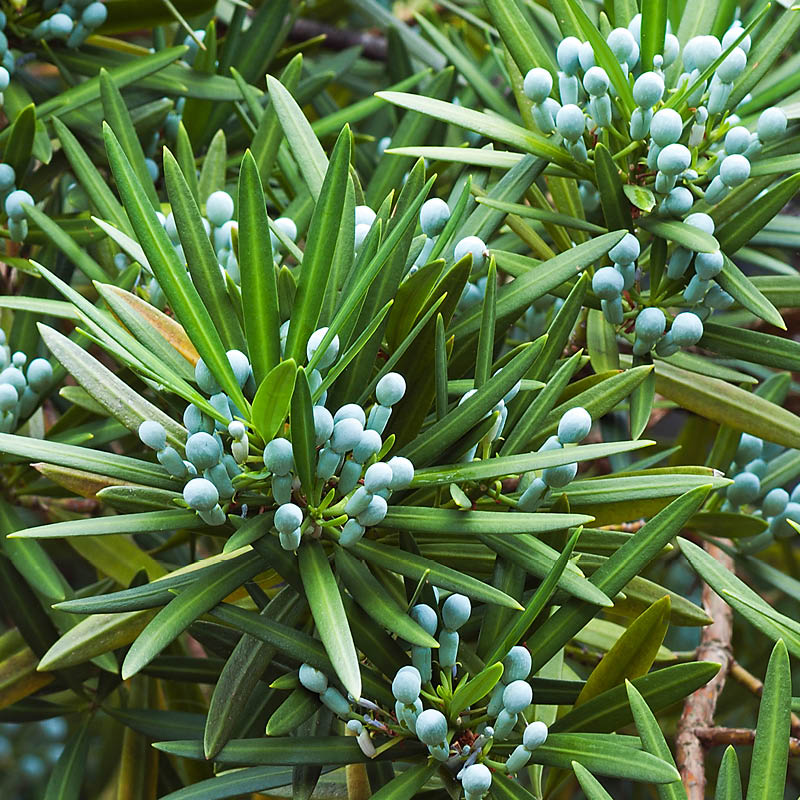 The ends of these podocarpus dwarf pringles are loaded with round berries.