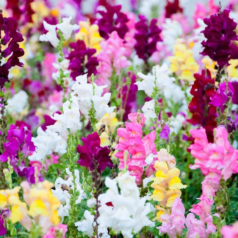 A planter of snapdragons shows a wide variety of fuschia, red, pink, white and yellow flower stalks.