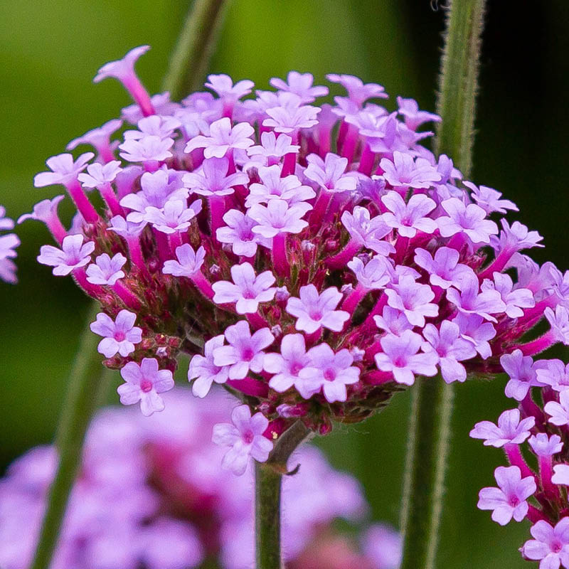 The blossoms of the verbena plant grow in tight clusters from a single stem.