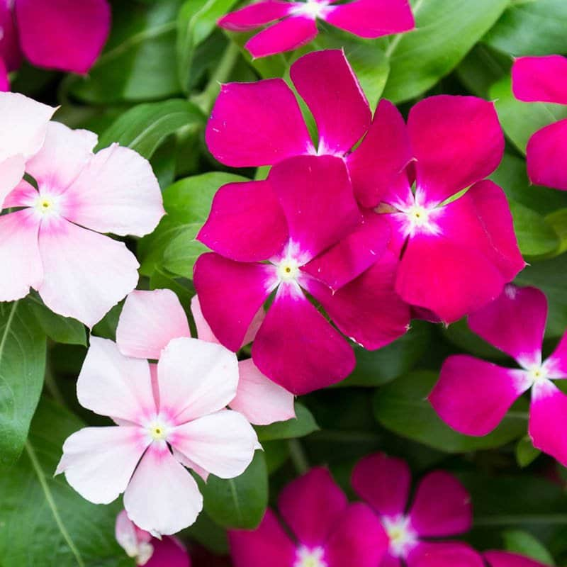 Two vinca plants intertwine their fuschia and pale pink blossoms in this planter.