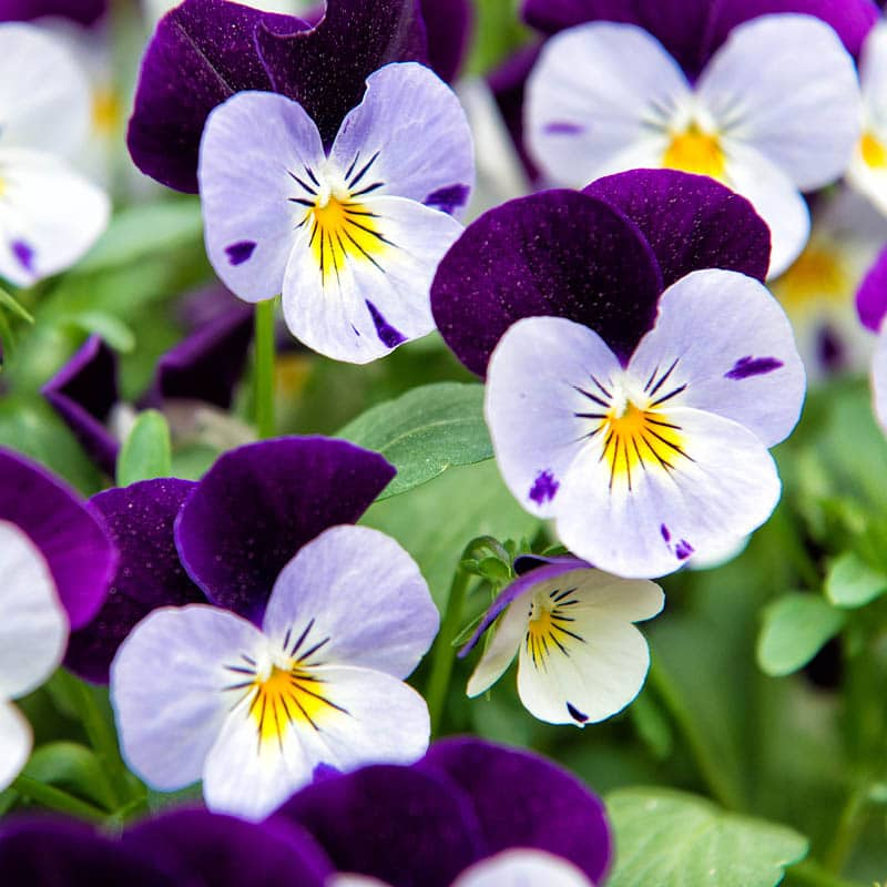 Yellow and purple violas show delicate petals with deep purple markings.