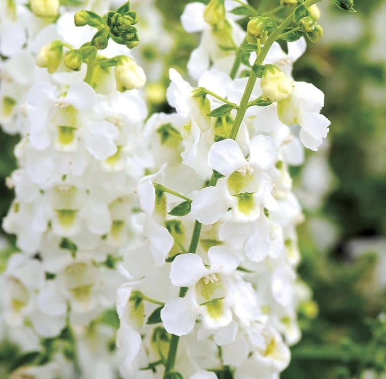 The heavenly blooms of this archangel white angelonia thrive in extreme heat, humidity and drought.