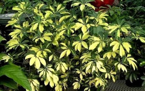 The popular variegated arboricola is a South Florida gardener's dream plant.