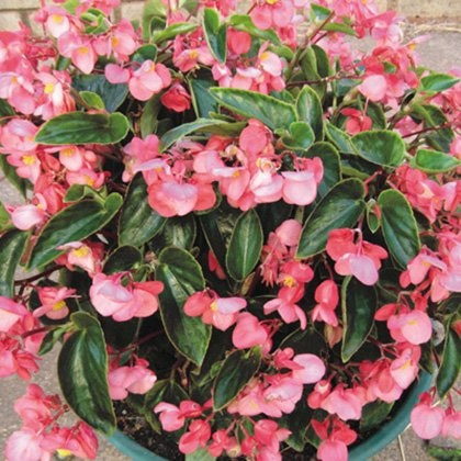 This potted begonia in dragonwing pink adapts well to large containers and in-ground plantings.