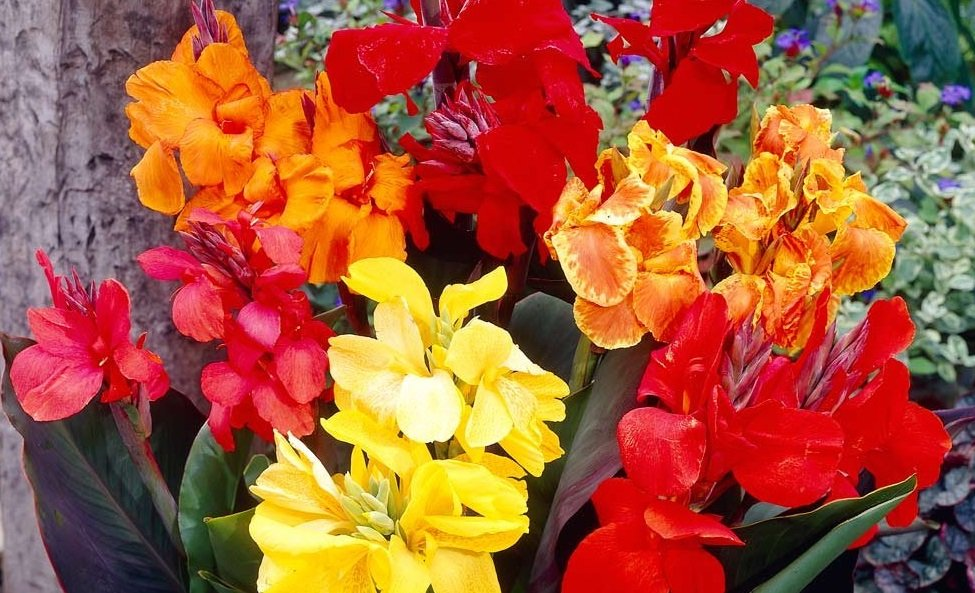 This cluster of dwarf and standard cannas includes red, yellow, orange, and bi-colored blooms with dark green leaves..