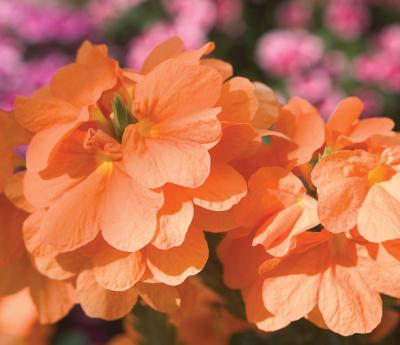 Heat-tolerant orange crossandra marmalade blooms continuously in full sun to partial shade.