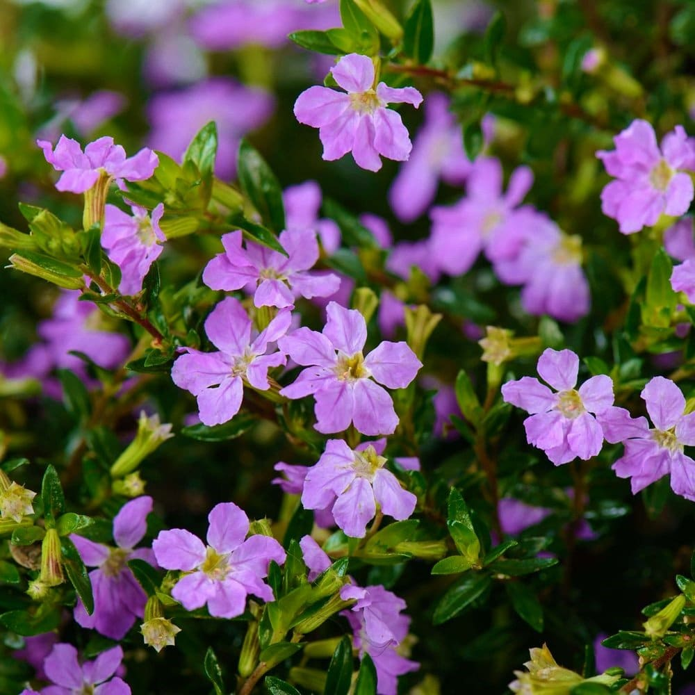 Purple cuphea ha a soft appearance that makes for excellent ground cover beside plants with larger leaves.