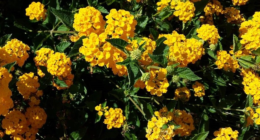 Bright yellow lantana blooms fill a planter with wide, textured leaves and a wealth of large flower clusters.