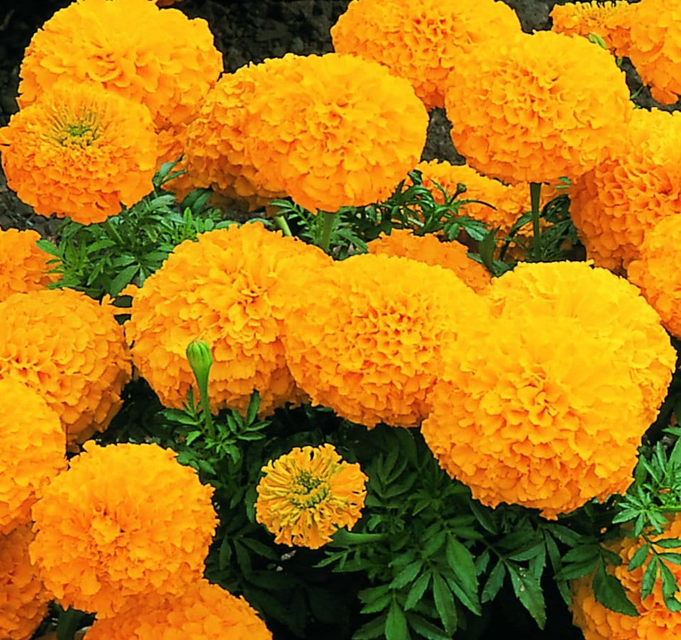 These large orange Inca marigolds are an ideal plant for beds and borders.