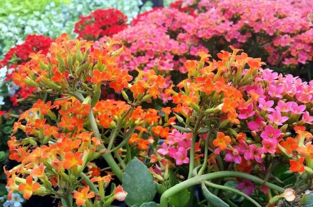 This cluster of multi-color kalanchoe produces upright stems and grows up to a foot tall.