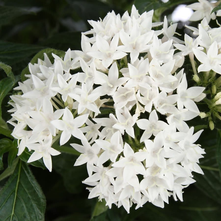 This butterfly white pentas shows three large flower clusters above dark green foliage.