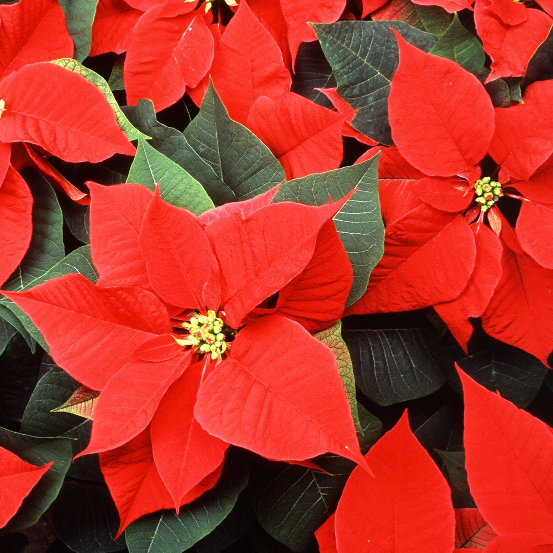 A classic holiday favorite, this cluster of poinsettias offers brilliant red foliage.