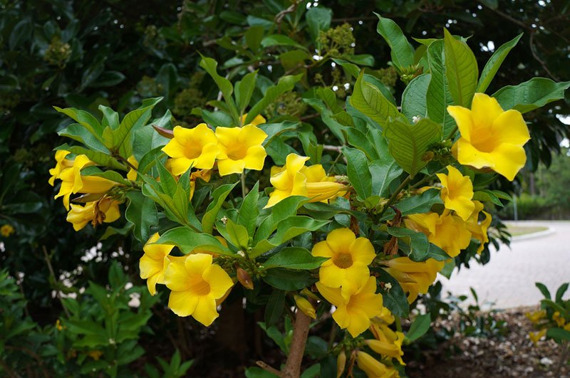 Allamanda schottii bush with large yellow flowers in a large planter bed with brown mulch