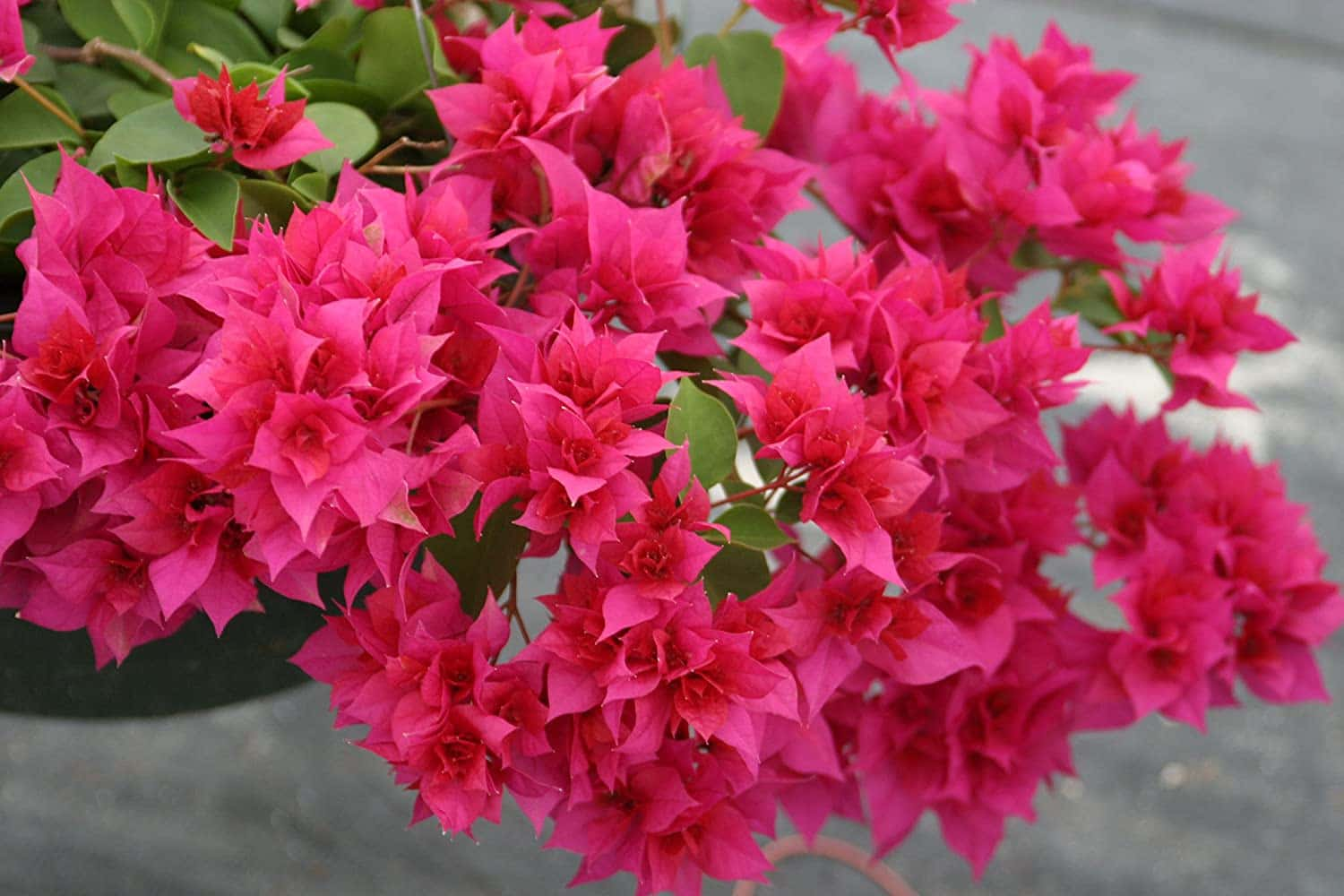 Double bloom bougainvillea in bright pink fills a commercial landscaping pot