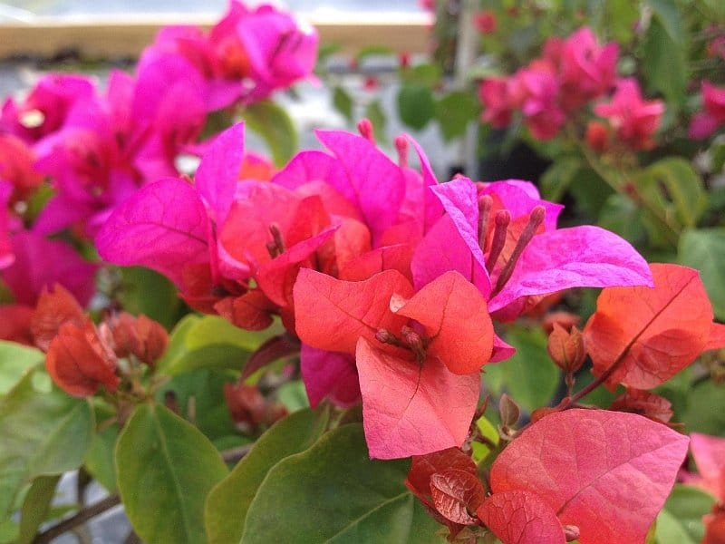 Bright pink and coral flowering bouganvillea dwarf plant