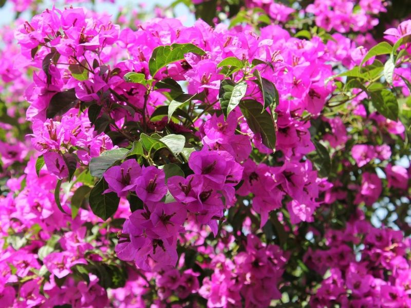 Bougainvillea plant covered in purple flowers in the bright Southwest Florida sunlight
