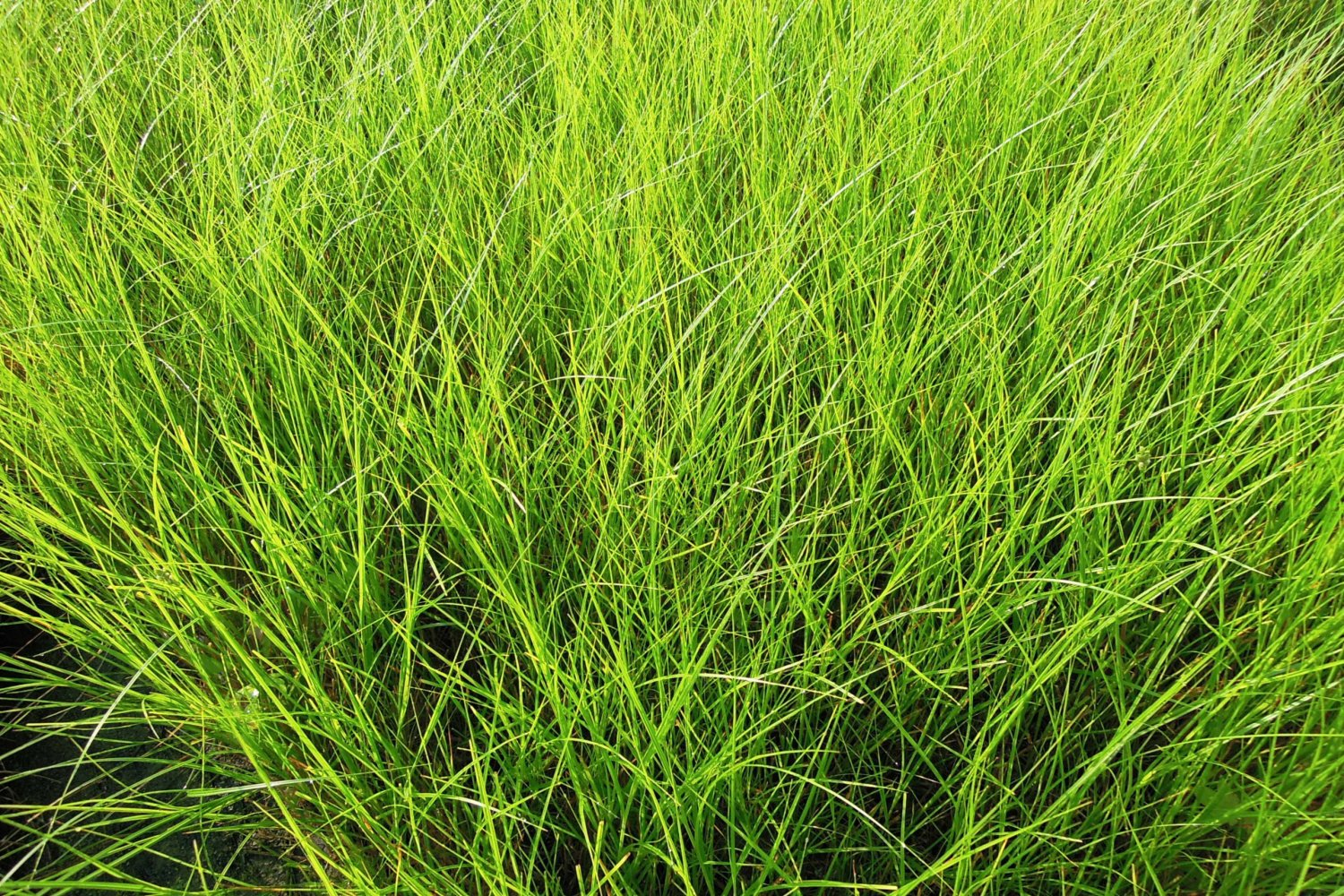 A large mass of cordgrass is also known as spartina.