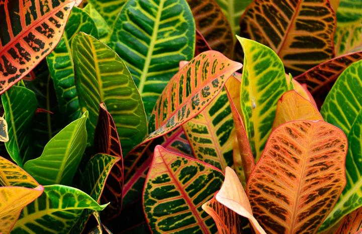 Croton displays green and orange variegated leaves in this closeup