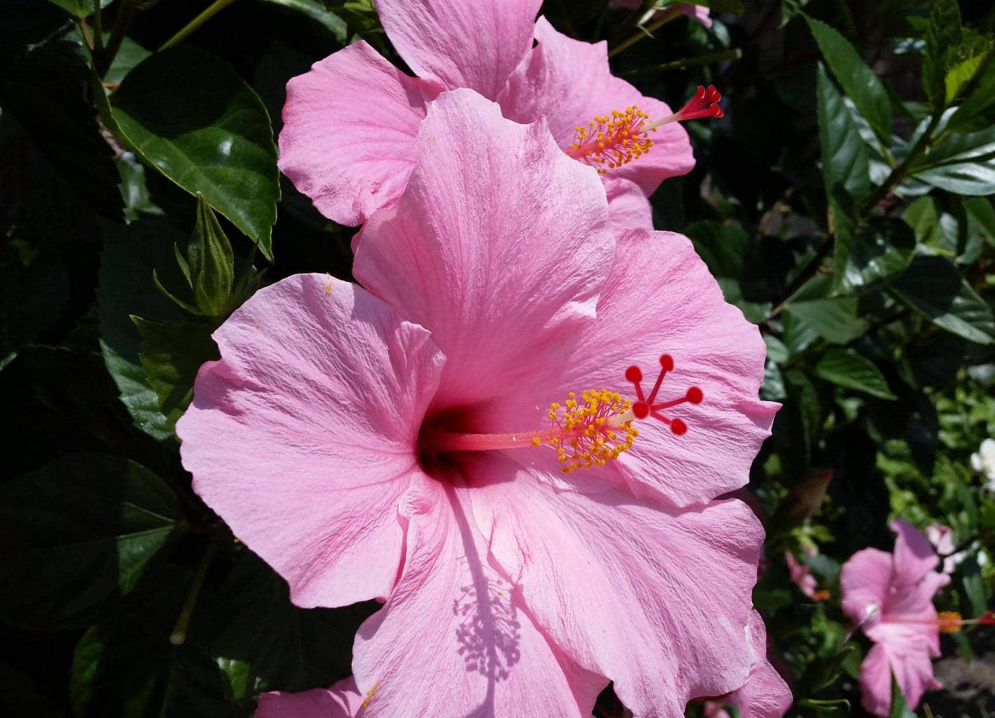 This flowering hibiscus in Seminole pink grows next to several other blossoms on a large bush.