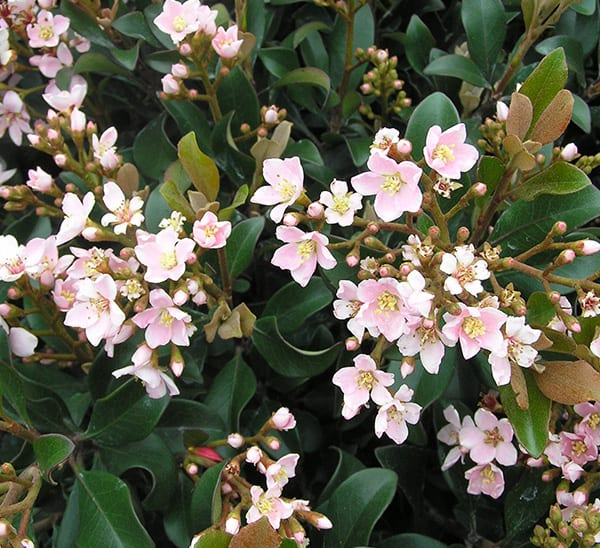 Light pink flowering Indian hawthorn with rich dark waxy leaves