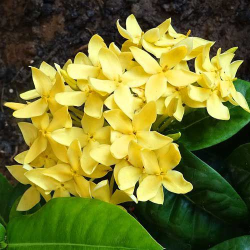 This ixora dwarf maui features yellow blooms.