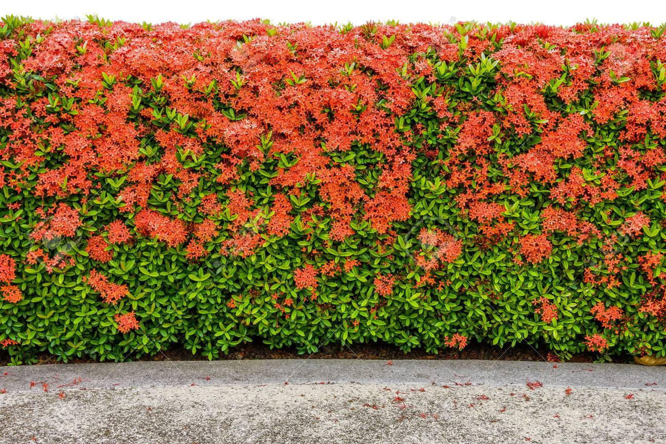 A large hedge of iwora nora grant features all-over red blossoms that are known to attract butterflies.