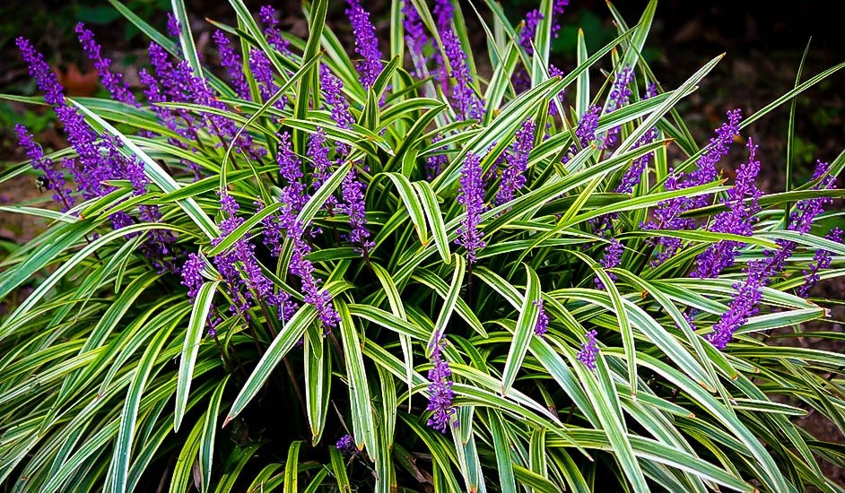 Liriope shows variegated leaves with tall blossoming purple shoots