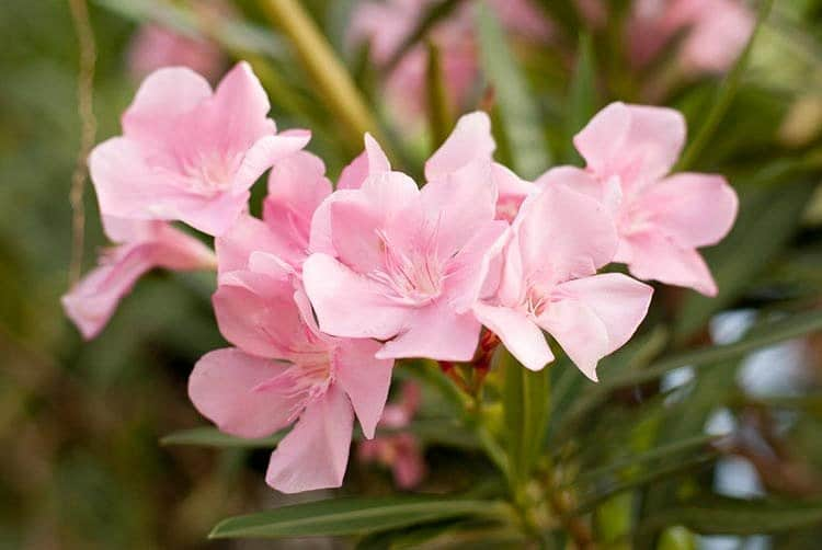 Light pink flowering oleander on the vine