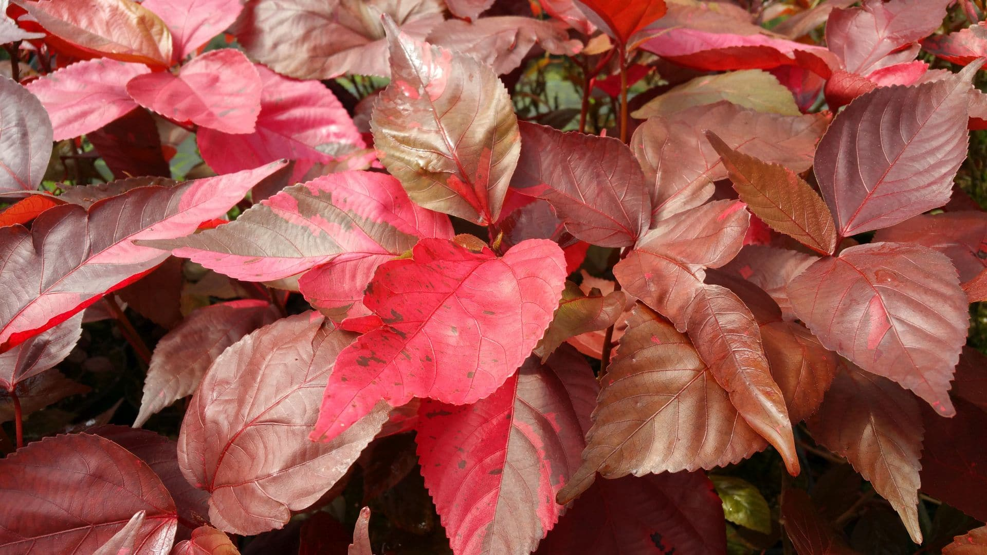 Red copperleaf offers red and brown variegated leaves.