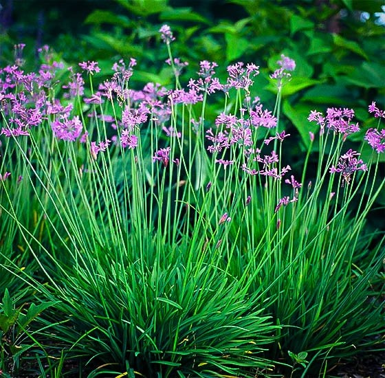 Several society garlic plants cluster together with airy purple blossoms and saturated green leaves