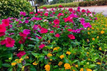 These purple and pink vinca rise above yellow lantana in this golf country club gallery planter bed.