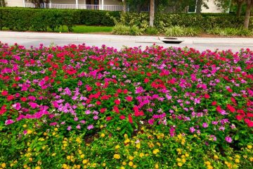 This large planter bed feature yellow lantana along with red, purple and pink vinca.