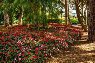 An expansive landscaped planter bed at Stonebridge Country Club Golf Course shows more than 100 flowering red and pink vinca products.